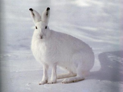 white_rabbit_not_camera_sky_in_the_winter_snow